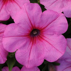 Pink Passion Wave Petunia Jumbo 6 pack (reg. 19.99)